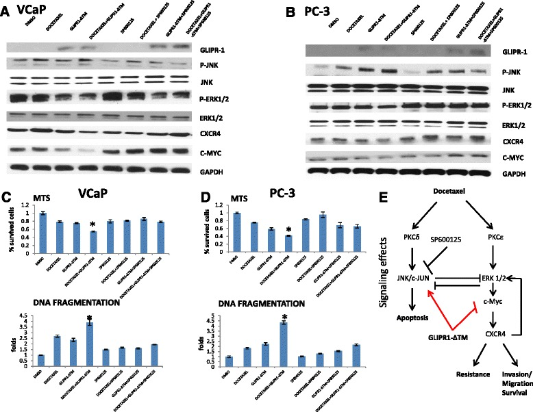 GLIPR1-ΔΤΜ synergized with docetaxel in activating JNK/c-Jun through JNK phosphorylation, whereas addition of GLIPR1-ΔΤΜ to docetaxel reduced ERK1/2 signaling. a , b . VCaP and PC-3 cells were treated with 1nM docetaxel, 10 μg/ml GLIPR1-ΔTM, or both and then, we added JNK inhibitor (SP600125) 1 μΜ to single agents or to their combination. Total treatment administration lasted for 24 h (VCaP cells) or 48 h (PC-3 cells), and the effects on JNK and ERK1/2 signaling were evaluated via western blot. JNK phosphorylation was increased synergistically with the combination of docetaxel and GLIPR1-ΔΤΜ, a pathway that leads to apoptosis; whereas ERK1/2 phosphorylation, which results in drug resistance and migration through c-Myc-CXCR4, was reduced by administration of this combination. These activities were reversed by the JNK inhibitor, SP600125. Western blot experiments were conducted three times and the quantitative data are presented as supplementary data. c , d . Under the same conditions and treatments in both cell lines, we performed MTS and DNA fragmentation assay to evaluate the percentage of survived cells and cell apoptosis, respectively. We found that, in both cell lines, the combination treatment of docetaxel and GLIPR1-ΔΤΜ resulted in statistically significant decrease in the percentage of survived cells and increase of apoptotic cells (VCaP: p