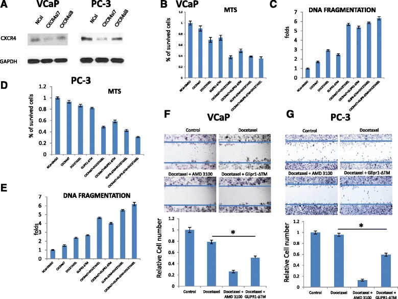 CXCR4si increased the sensitivity of VCaP and PC-3 cells to docetaxel and reduced cell migration trend when combined with docetaxel. a . Western blot in VCaP and PC-3 cells to evaluate the efficacy of CXCR4si7 and CXCR4si8 siRNAs. The results are presented as the mean ± standard error from three independent experiments. Quantitative data of western blots on 2 different CXCR4siRNAs for validation and determination of their effect size are provided in Supplementary Data. b . CXCR4 knockdown decreased the survival of VCaP cells when was combined with GLIPR1-ΔTM ( p