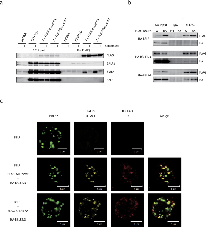 Interaction of FLAG-BALF5 WT and 6A with EBV replication proteins. ( a and b ) HEK293EBV-BAC BALF5Δ cells were transfected with expression vectors for BZLF1 and FLAG-BALF5 wild type (WT) or 6A, with or without the expression vector for HA-tagged EBV replication proteins, as indicated. Cell proteins were lysed and incubated with (+) or without (−) Benzonase, then subjected to immunoprecipitation using anti-FLAG M2 antibody. The lysates (5% input) and precipitates (IP) were then immunoblotted using antibodies as indicated. ( c ) HEK293EBV-BAC BALF5Δ cells, transfected with expression vectors as noted (left of panels), were fixed and stained with anti-BALF2 (green), anti-FLAG (yellow) and anti-HA (red) antibodies, and observed by laser scanning confocal microscopy.