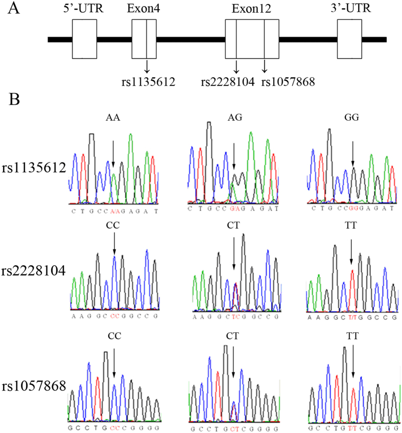Sequencing of the <t>POR</t> gene in coding regions. ( A ) Schematic diagram of the POR gene where SNPs are located. rs1135612 is located on <t>exon</t> 4, and rs2228104 and rs1057868 are located on exon 12. ( B ) The arrow marks the POR SNP sequence, in which rs1135612 has an A > G nuclei acid change, and rs2228104 and rs1057868 both have a C > T nucleic acid change.