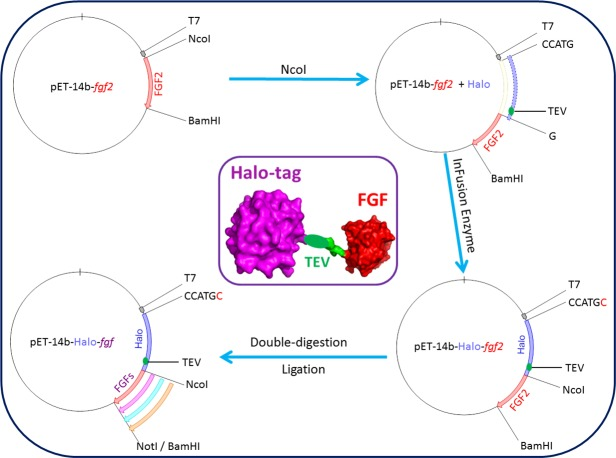 Cloning strategy for plasmids encoding Halo-FGFs. DNA encoding HaloTag was inserted 5′ of the FGF2 coding sequence with the In-Fusion HD enzyme. Subsequently, a NotI cleavage site was added 5′ to the BamHI site and other FGFs were exchanged into the plasmid using the digestion-ligation cloning method. A cartoon structure of Halo-FGF is presented in the middle of this figure.