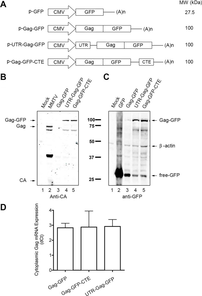 MMTV Gag-GFP expression is enhanced by the insertion of the 5'UTR of MMTV or CTE of M-PMV cis-regulatory elements. ( A ) Schematic representation of the expression vectors p-EGFP, p-Gag-GFP, p-UTR-Gag-GFP and p-Gag-GFP-CTE. The approximate size of each predicted protein is shown. All vectors contained the human cytomegalovirus immediate early promoter (CMV) and a polyadenylation signal (A)n. ( B , C ) HEK293T cells were transfected with mock (lane 1), MMTV (lane 2), Gag-GFP (lane 3), UTR-Gag-GFP (lane 4) and Gag-GFP-CTE (lane 5) plasmids two days prior to lysis. Proteins were resolved on SDS-PAGE and detected through western blot using anti-MMTV CA (anti-CA) or anti-GFP antibodies, using anti-β-actin as a loading control. Black arrows point to the bands corresponding to expected proteins (names included beside arrows). ( D ) HEK293T cells were transfected with the respective plasmids two days prior to cytoplasmic RNA extraction. Gag-GFP mRNA was quantified with RT-qPCR. Relative expression of the Gag-GFP mRNA to β-actin mRNA (ΔCt) in the cytoplasmic fraction is shown on the y- axis (n = 3).