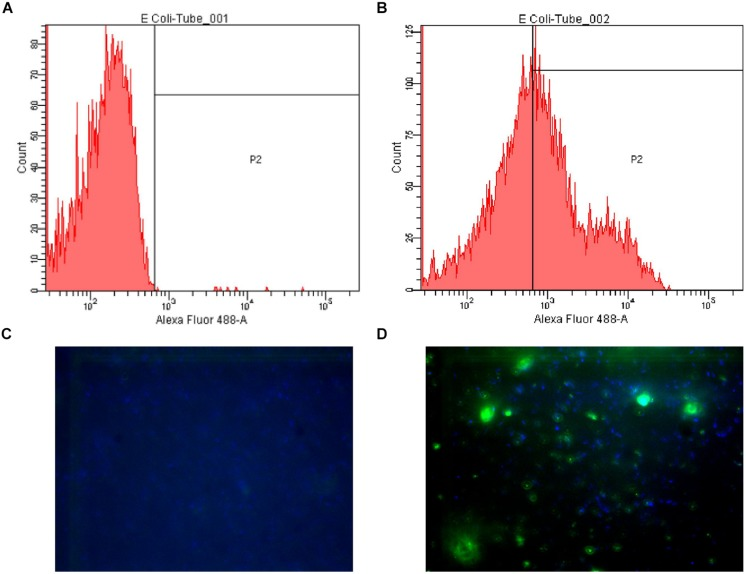 Examples of flow cytometry and fluorescence microscopy results. (A) Flow cytometry plot of Escherichia coli LMG8223 stained by an irrelevant IgG3 (negative control); (B) Flow cytometry plot of E. coli LMG8223 stained by anti-A antibody #21; (C) Fluorescence microscopy picture of E. coli LMG8223 stained with an irrelevant IgG3 (negative control); (D) Fluorescence microscopy picture of E. coli LMG8223 stained by anti-A antibody #21.