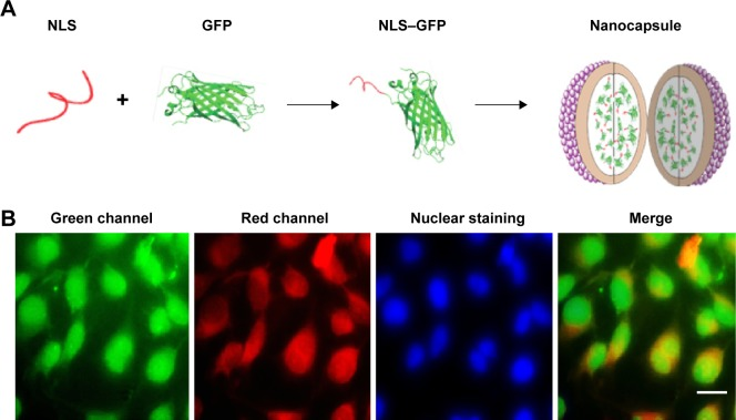 Intercellular delivery of NLS–GFP by the nanocapsules. Notes: ( A ) The scheme of preparation of the nanocapsules containing NLS–GFP. ( B ) Fluorescence distribution in Hela cells after exposure to nanocapsules. NLS could carry GFP into the nucleus after NLS–GFP was transduced into the cytosol. TRITC–BSA on the surface of the nanocapsules was left in the cytosol. Scale bar 20 μm. Abbreviations: NLS, nuclear location signal; GFP, green fluorescence protein; TRITC–BSA, tetramethylrhodamine–bovine serum albumin.