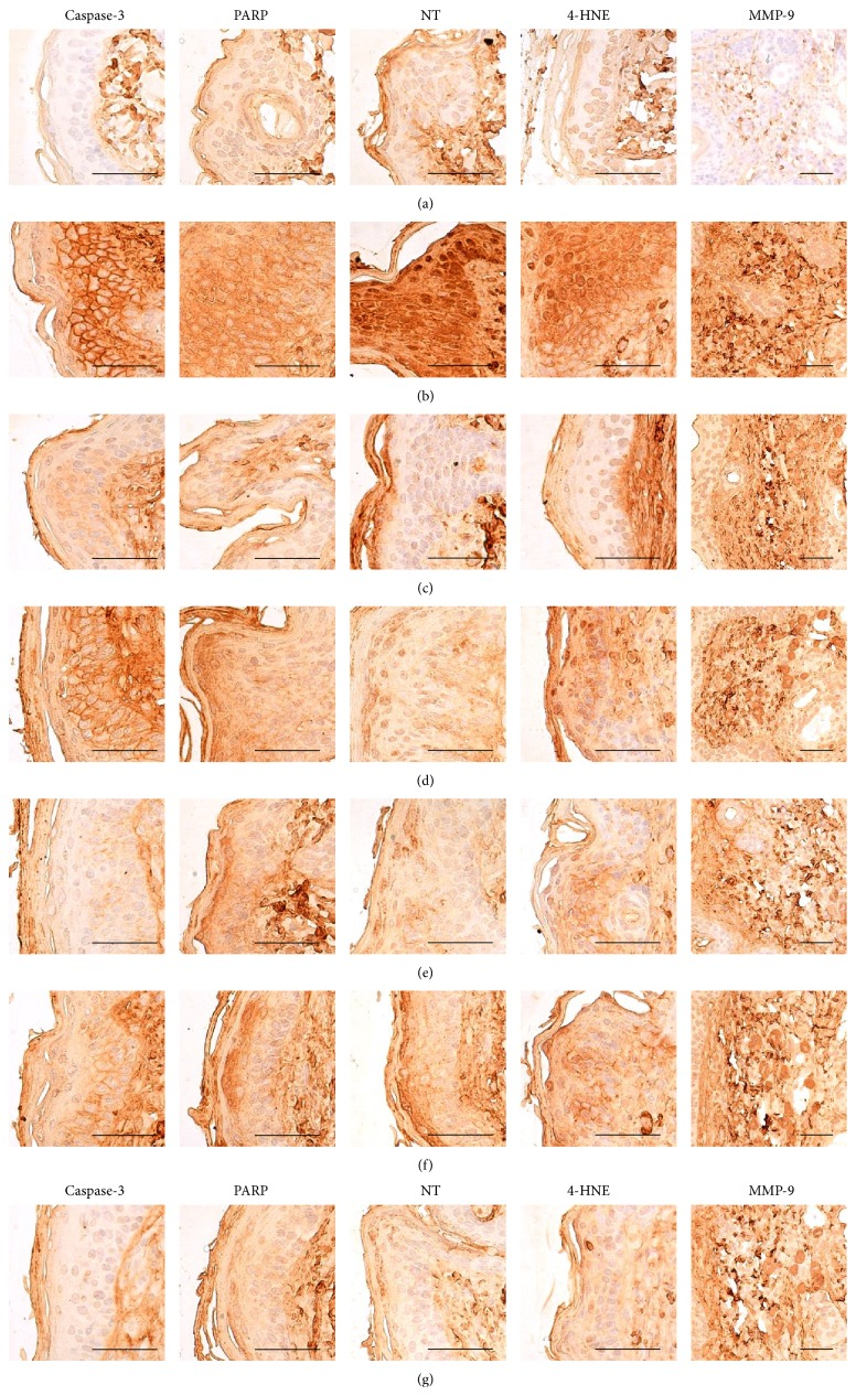 Representative immunohistochemical images of caspase-3, PARP, NT, 4-HNE, and MMP-9 in the dorsal back skin tissues, taken from unexposed intact or DNCB-induced AD mice bathing on seawaters or topical application of DEXA. Noticeable elevations of caspase-3, PARP, NT, and 4-HNE immunoreactive epidermal cells, dermal MMP-9 immunoreactivities were detected on the dorsal back skin tissues in DNCB control mice, respectively. However, these increases of immunoreactivities related AD signs were significantly inhibited by bathing on the ESGW, WSGW, ESSW, and WSSW as compared with DNCB control mice, in that order, respectively. Topical application of 1% DEXA also significantly reduced the increases of caspase-3, PARP, NT, and 4-HNE immunoreactive epidermal cells and dermal MMP-9 immunoreactivities as compared with DNCB control mice, in this experiment. (a) Intact vehicle control mice bathing on the distilled water; (b) DNCB control mice bathing on the distilled water; (c) AD mice bathing on the WSSW; (d) AD mice bathing on the WSGW; (e) AD mice bathing on the ESSW; (f) AD mice bathing on the ESGW; (g) 1% DEXA topically applied AD mice. AD = allergic/atopic-like dermatitis; DNCB = 2,4-dinitrochlorobenzene; DEXA = dexamethasone-water soluble; WSSW = west surface seawater collected around Wepo-ri (Ganghwa-do, Republic of Korea); WSGW = west saline groundwater collected at Yonggungoncheon (Seokmo-do, Republic of Korea); ESSW = east surface seawater collected around Nagok-ri (Uljin, Republic of Korea); ESGW = east saline groundwater collected around Hoojeong-ri (Uljin, Republic of Korea); PARP = cleaved poly (ADP-ribose) polymerase; NT = nitrotyrosine; 4-HNE = 4-hydroxynonenal; MMP = matrix metalloprotease; ABC = avidin-biotin complex. All being ABC immunostain. Scale bars = 40 μ m.