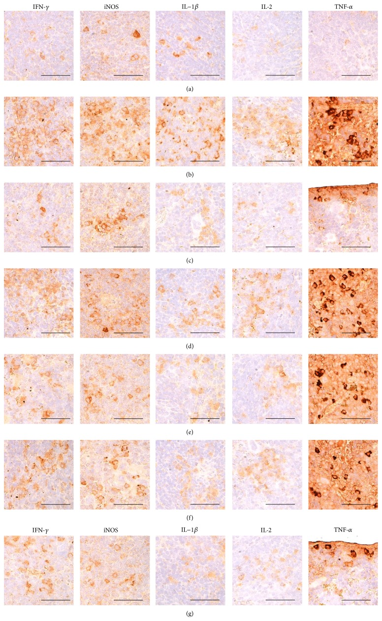 Representative immunohistochemical images of IFN- γ , iNOS, IL-1 β , IL-2, and TNF- α in the splenic tissues, taken from unexposed intact or DNCB-induced AD mice bathing on seawaters or topical application of DEXA. Dramatic and noticeable increases of the numbers of IFN- γ , iNOS, IL-1 β , IL-2, and TNF- α immunolabeled cells were observed in DNCB control mice as compared with intact vehicle control hairless mice, respectively. However, these hypersensitivities related increases of cytokine immunoreactive cells were significantly inhibited by topical treatment of 1% DEXA and bathing on the ESGW, WSGW, ESSW, and WSSW as compared with DNCB control mice, in that order, respectively. (a) Intact vehicle control mice bathing on the distilled water; (b) DNCB control mice bathing on the distilled water; (c) AD mice bathing on the WSSW; (d) AD mice bathing on the WSGW; (e) AD mice bathing on the ESSW; (f) AD mice bathing on the ESGW; (g) 1% DEXA topically applied AD mice. AD = allergic/atopic-like dermatitis; DNCB = 2,4-dinitrochlorobenzene; DEXA = dexamethasone-water soluble; WSSW = west surface seawater collected around Wepo-ri (Ganghwa-do, Republic of Korea); WSGW = west saline groundwater collected at Yonggungoncheon (Seokmo-do, Republic of Korea); ESSW = east surface seawater collected around Nagok-ri (Uljin, Republic of Korea); ESGW = east saline groundwater collected around Hoojeong-ri (Uljin, Republic of Korea); IFN = interferon; IL = interleukin; iNOS = inducible nitric oxide synthase (2); TNF = tumor necrosis factor; ABC = avidin-biotin complex. All being ABC immunostain. Scale bars = 40 μ m.