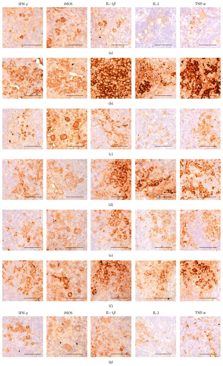 Representative immunohistochemical images of IFN- γ , iNOS, IL-1 β , IL-2, and TNF- α in the submandibular LN tissues, taken from unexposed intact or DNCB-induced AD mice bathing on seawaters or topical application of DEXA. Noticeable increases of the numbers of IFN- γ , iNOS, IL-1 β , IL-2, and TNF- α immunolabeled cells were observed in DNCB control mice as compared with intact vehicle control hairless mice, respectively. However, these submandibular LN hypersensitivities related increases of cytokine immunoreactive cells were significantly inhibited by topical treatment of 1% DEXA, bathing on the ESGW, WSGW, ESSW, and WSSW as compared with DNCB control mice, in that order, respectively. AD = allergic/atopic-like dermatitis; DNCB = 2,4-dinitrochlorobenzene; DEXA = dexamethasone-water soluble; WSSW = west surface seawater collected around Wepo-ri (Ganghwa-do, Republic of Korea); WSGW = west saline groundwater collected at Yonggungoncheon (Seokmo-do, Republic of Korea); ESSW = east surface seawater collected around Nagok-ri (Uljin, Republic of Korea); ESGW = east saline groundwater collected around Hoojeong-ri (Uljin, Republic of Korea); LN = lymph node; IFN = interferon; IL = interleukin; iNOS = inducible nitric oxide synthase (2); TNF = tumor necrosis factor; ABC = avidin-biotin complex. All being ABC immunostain. Scale bars = 40 μ m.