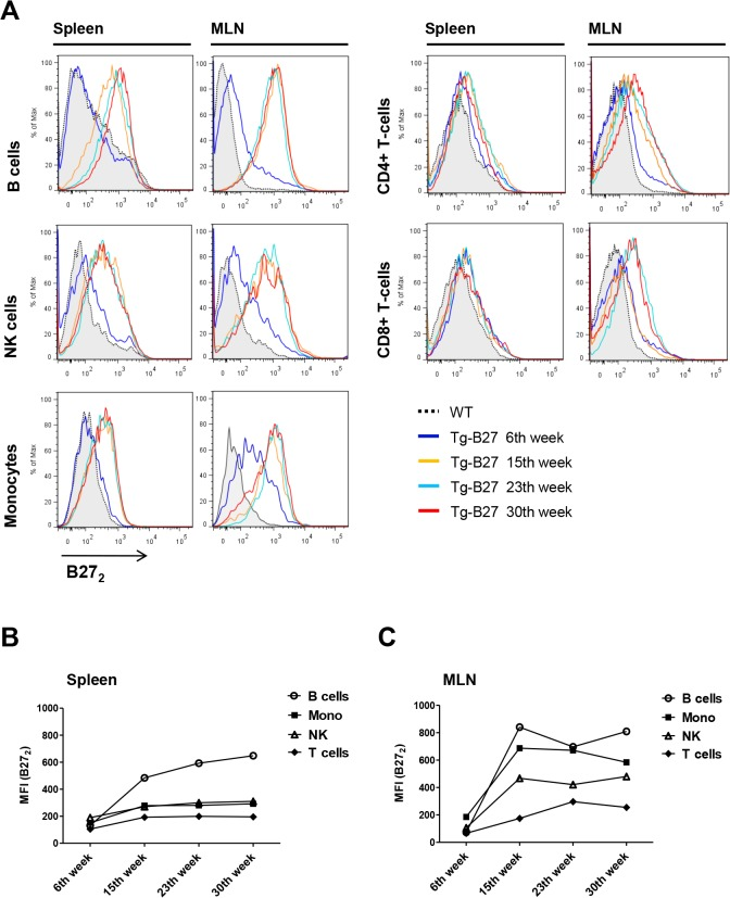 Detection of cell-surface B27 2 in leukocyte populations of HLA-B27 transgenic rats at different ages. (A) Representative flow cytometry analysis of cell-surface B27 2 expression in leukocytes populations of Tg rats at different ages (6, 15, 23 and 30 weeks) from spleen and MLNs. WT leukocytes represent the control population where B27 2 is absent. (B) MFI values plotted of positive B27 2 stains from splenocytes. (C) MFI values plotted of positive B27 2 stains from MLNs. Detection of cell-surface B27 2 homodimers was performed using HD6-biotinylated and detected by streptavidin-APC. HD6 had been previously assessed as an antibody capable of recognizing cell-surface B27 2 in human [ 12 ] and rat [ 41 ] leukocyte populations. Antibody panels: CD4+ T-cells (+CD3, +CD4), CD8+ T-cells (+CD3, +CD8), NK (+CD161a,—lineage), B cells (+CD45RA,-lineage) and Monocytes (+CD172a,—RP-1).