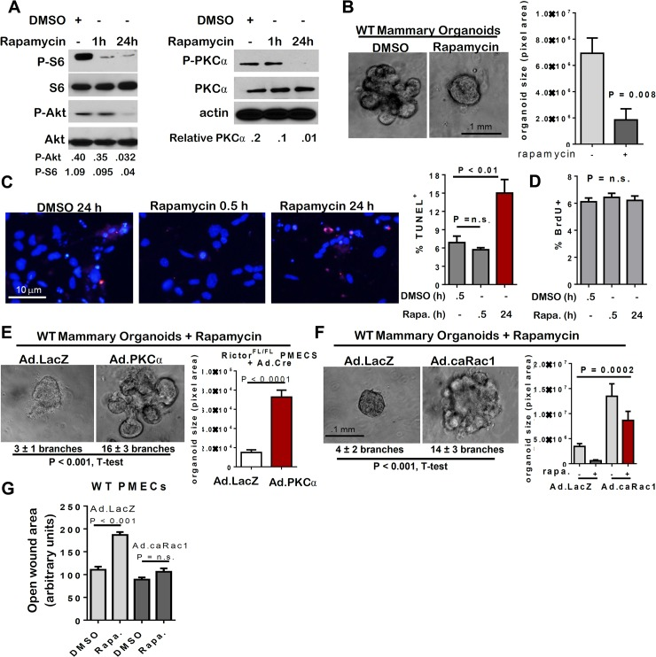mTOR inhibition with rapamycin decreases MEC survival and branching. A-G. WT PMECs and organoids were cultured in DMSO vehicle or rapamycin. PMECs were cultured 0, 0.5, or 24 hours. Organoids were cultured 10 days in Matrigel in the presence of DMSO or rapamycin. A . Western analysis of PMEC lysates. Quantitation was performed using Image J software and numbers represent P-Akt, <t>P-S6,</t> or P-PKC-alpha bands normalized to total Akt, S6, or PKC-alpha levels. B . WT organoids photographed after 10 days in Matrigel culture. Average organoid size scored as average pixel area ± S.D., Student's T-test, N = 6 epithelial isolates, each analyzed in triplicate. C . TUNEL analysis of PMECs. Average percent TUNEL+ nuclei per total PMEC nuclei ± S.D. is shown, Student's T-test. N = 3 independent cell isolates, analyzed in duplicate. D. PMECs were labeled with BrdU after initial pre-treatments with rapamycin for 0.5 hours or 24 hours. Average percent BrdU+ nuclei per total nuclei ± S.D. is shown, One-way ANOVA, N = 3 independent cell isolates, analyzed in triplicate. E-F. Organoids were infected with Ad.LacZ or Ad.PKC-alpha (panel E) or Ad.caRac1 (panel F) prior to embedding in Matrigel plus rapamycin or DMSO. Average number of branches/colony is shown below each image. Average organoid size scored as average pixel area ± S.D., Student's T-test (E) and one way ANOVA (F), N = 6 epithelial isolates, each analyzed in triplicate. G. Confluent PMEC monolayers were scratch-wounded, cultured in rapamycin or DMSO, and imaged at 24 hours. Total wounded area remaining after 24 hours was measured. Values shown are the average wound area remaining ± S.D. N = 3 independent cell isolates, analyzed in triplicate.