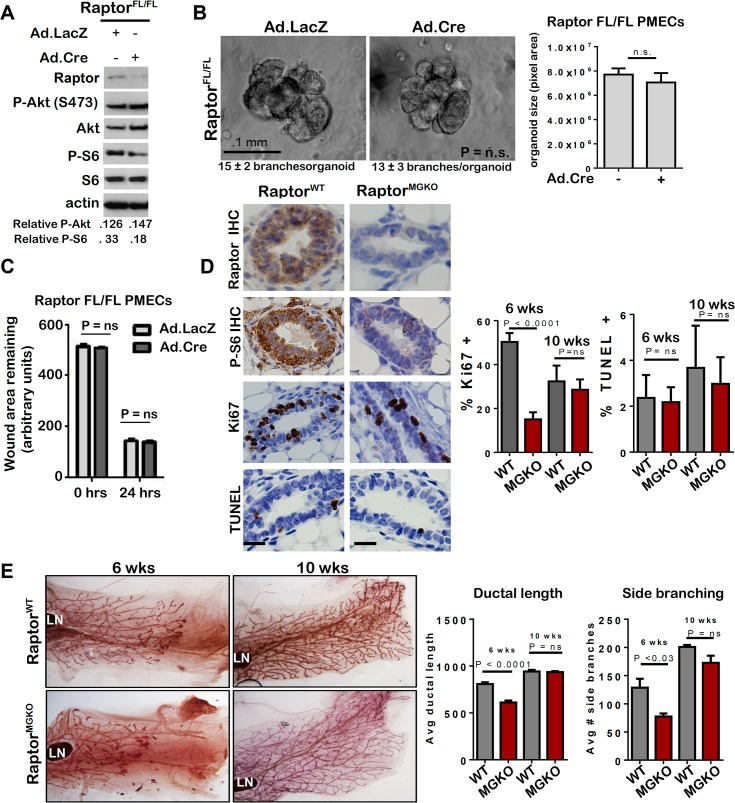 Unlike mTORC2, mTORC1 is dispensable for MEC survival and branching morphogenesis. A-C. Raptor FL/FL PMECs and organoids were infected with Ad.Cre and Ad.LacZ, and cultured 10 days. A. Western analysis of PMECs cultured in the absence of serum. Quantitation was performed using Image J software and numbers represent P-Akt or P-S6 bands normalized to total Akt or S6 levels. B. Organoids were infected with Ad.Cre or Ad.LacZ photographed after 10 days in Matrigel culture. Representative images are shown. Average number of branches/organoid for each group is shown below the image. Average organoid size (pixels) ± S.D. is shown, Student's T-test. N = 6 independent organoid isolates, analyzed in triplicate . C. PMECs from Raptor Fl/FL mice were infected with Ad.LacZ or Ad.Cre, grown to confluence and scratch-wounded. Monolayers were imaged. Total wound area remaining was measured 24 hours after wounding. Values shown are the avg ± S.D. N = 6 per time point, Student's T-test. D-E. Mammary glands from virgin female Raptor WT and Raptor MGKO at 6 and 10 weeks of age were analyzed. N = 10 mice per genotype at each time point. Statistical analysis performed with Student's T-test. D. IHC for Raptor, P-S6, Ki67+, and TUNEL+ nuclei in mammary glands of 6-week old mice. Representative images are shown. Scale bars = 50 microns. Average percent Ki67+ nuclei and TUNEL+ nuclei (± S.D) per total epithelial nuclei was determined E. Whole mount hematoxylin staining of mammary glands. Representative images are shown. LN = lymph node. The ductal length beyond the mammary lymph node was measured in whole mounted mammary glands. Average length (in microns) ± S.D. is shown. The number of T-shaped side branches was enumerated in whole mounted mammary glands. Values shown represent average number of side branches ± S.D.