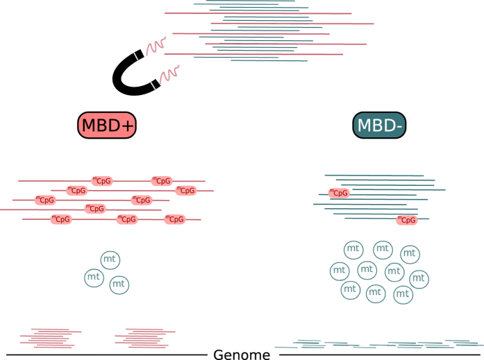 Properties of MBD enrichment for ancient DNA. The MBD+ fraction favors DNA templates with a longer size and a higher number of m CpGs. This represents a limited fraction of the molecules present in aDNA extracts. mtDNA is under-represented in the MBD+ fraction while higher coverage is observed for hyper-methylated regions of the nuclear genome, including TEs.