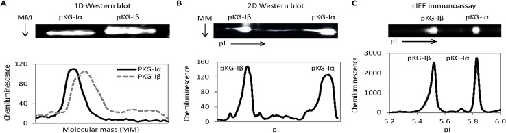 Detection of PKG-I isoforms using 1D and 2D Western blots and cIEF immunoassays. ( A ) 1D Western blot image (upper panel) and chemiluminescent intensity as a function of molecular mass plot (lower panel). ( B ) Truncated 2D Western blot images (upper panels) and chemiluminescent intensity as a function of isoelectric points plot (lower panel). ( C ) cIEF immunoassay images (upper panels) and chemiluminescent intensity as a function of isoelectric points plot (lower panel).