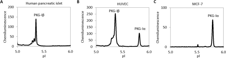 Differential expression of PKG-I isoforms in cell lines and tissues. ( A ) Human pancreatic islets exhibited only the presence of PKG-Iβ. ( B ) Human umbilical vascular endothelial cells (HUVEC) exhibited both PKG-Iα and PKG-Iβ. ( C ) Mammary cancer cells MCF-7 exhibited only PKG-Iα.