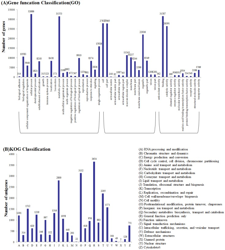 Functional classification of the assembled unigenes. (A) Comparison of Gene Ontology (GO) classifications of common wild rice. Unigene numbers assigned to the same GO terms are indicated above the bars; the x-axis indicates the subcategories, and the y-axis indicates the number of genes in a category. (B) Histogram of the Eukaryotic Orthologous Groups (KOG) classification.