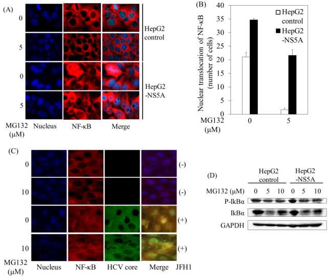 HCV NS5A enhanced MG132-induced NF-κB p65 nuclear translocation. A , HepG2 control and HepG2-NS5Acells were cultured for 6 hours with or without 5 μM MG132. Confocal microscope high-power view demonstrates that NF-κB p65 nuclear localization was detected (x200). Nuclear staining was performed with Hoechst 33342, trihydrochloride, trihydrate (blue). Localization of NF-κB p65 was detected with anti-NF-κB p65 primary antibody, and Alexa-Fluor-555 secondary antibody (red). Merge images of A and B were superimposed digitally to allow for fine comparisons. NF-κB p65 nuclear translocation was observed (pink). B , The number of NF-κB p65 nuclear-translocated cells per field was counted at low-power view (40X). C , Huh7 cells infected with or without HCV JFH1 genotype 2 strain were incubated for 6 hours with or without 5 μM MG132. Nuclear staining was performed with Hoechst 33342, trihydrochloride, trihydrate (blue). NF-κB p65 nuclear localization was detected with anti-NF-κB p65 primary antibody and anti-rabbit Alexa-Fluor-555 secondary antibody (red). HCV was detected using anti-HCV core primary antibody and an Alexa-Fluor-488 anti-mouse secondary antibody (green). D , HCV NS5A expression enhances phosphorylation of IκBα. Western blot analyses of phosphorylated IκBα (Ser32) (P-IκBα), IκBα and <t>glyceraldehyde-3-phosphate</t> dehydrogenase <t>(GAPDH)</t> expression in HepG2 control or HepG2-NS5A cells at 8 hours after treatment with or without MG132.