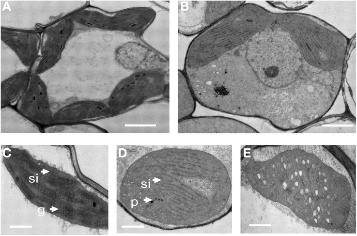 Transmission electron microscopic images of chloroplasts from 1-month-old wild-type and oscdm1 plants. (A) Wild-type mesophyll cells. (B) The mesophyll cells of oscdm1 plants. (C) Wild-type chloroplasts. (D,E) The chloroplasts of oscdm1 plants. The chloroplasts of the wild-type plants had abundant, well-ordered membrane stacks, whereas the chloroplasts of the oscdm1 mutant had almost no normal stacked membranous structures or grana (D) . The mutant chloroplasts also exhibited vacuolation (E) , p, plastoglobule; g, grana stack; sl, stroma lamellae; v, vacuolation. Bar = 1 μm in (A,B) , and 100 nm in (C–E) .