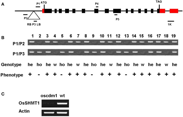 "Co-segregation of the T-DNA with the chlorina phenotype. (A) Schematic representation of the T-DNA insertion upstream of OsSHMT1 (exons = black/red boxes; introns = black lines) and the domain organization of OsSHMT1 ( http://www.uniprot.org/uniprot/Q6EPF0 ). ATG, start codon; TAG, termination codon; RB, right border; LB, left border. P1, P2, and P3 are the primers used for genotyping. (B ) Co-segregation analysis of the genotype and phenotype in a segregating population. All plants homozygous for the T-DNA insertion showed a chlorotic phenotype, indicating that the recessive mutation was caused by T-DNA insertion. Numbers represent the different plants tested. P1/P2, PCR using primers P1 and P2; P1/P3, PCR using primers P1 and P3; He, hemizygous; Ho, homozygous; W, wild type. ""+"" represents the wild-type phenotype; ""−"" represents the mutant phenotype. Plants 2, 5, 9, and 13 were homozygous because only the 0.9-kb band was amplified using primers P1 and P2. Plants 4, 7, 11, 15, and 18 were designated as wild type because only the 0.7-kb band was amplified using primers P1 and P3. In contrast, both the 0.7- and 0.9-kb bands were amplified from plants 1, 3, 6, 8, 10, 12, 14, 16, 17, and 19, indicating that they were heterozygotic. (C) Analyses of OsSHMT1 expression in wild-type and oscdm1 mutant plants using actin as a control. The RT-PCR primers P4 and P5 for OsSHMT1 span introns 7 and 8. RT-PCR using RNA from homozygous oscdm1 plants did not detect full-length OsSHMT1 transcripts."