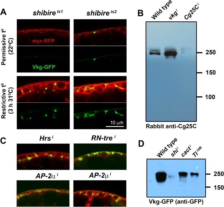 ( A ) Confocal images of adipocytes from shi 1 and shi 2 thermosensitive mutants. Shifting larvae to restrictive temperature for 3 hr causes mild pericellular accumulation of Collagen IV (Vkg-GFP in green). myr-RFP membrane marker in red. ( B ) Western blots of hemolymph probed with an anti-Cg25C antibody (1:5000). Hemolymph was collected by turning 10 larvae inside-out inside 100 μl of PBS. 10 μl of 2-Mercaptoethanol-reduced sample (equivalent to the blood of 1 larva) were loaded per genotype. We bled wild type larvae ( w 1118 ) and larvae where vkg or Cg25C were knocked down in adipocytes ( Cg > vkg i +tub-GAL80 ts and Cg > Cg25C i +tub-GAL80 ts respectively). For vkg and Cg25C knock-down, and in order to circumvent embryonic/L1 lethality, temporary inhibition of GAL4-driven knock-down was achieved with thermosensitive GAL4 inhibitor tub-GAL80 ts (larvae were grown at 18°C to prevent knock-down, transferred to 30°C to initiate knock-down in L1/L2 stage and bled 3 days later in L3 stage). Note that knock-down of Vkg increases Cg25C signal, expected as monomeric Cg25C cannot be incorporated into BMs in the absence of Viking ( Pastor-Pareja and Xu, 2011 ). ( C ) Pericellular Vkg accumulation in adipocytes from BM-40-SPARC > Hrs i , > RN-tre i , > AP-2α i and > AP-2μ i larvae. ( D ) Western blots of hemolymph extracted from wild type ( w 1118 ), BM-40-SPARC > shi i , > cact i and > Tl 10B larvae probed with an anti-GFP antibody (1:5000). The amount of blood loaded in each well is equivalent to 1 larva. DOI: http://dx.doi.org/10.7554/eLife.07187.004