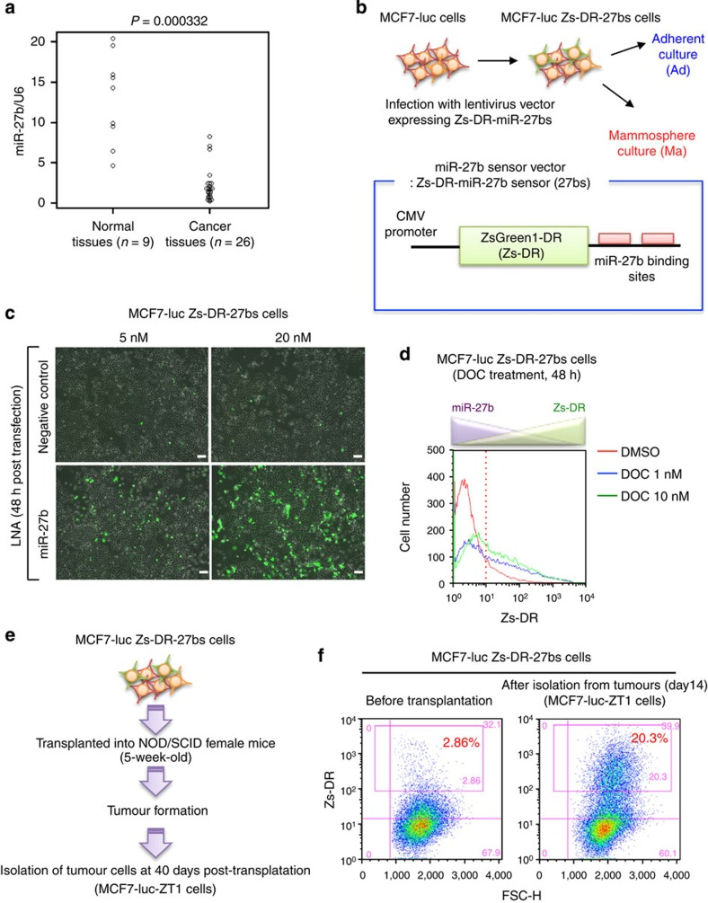 MiR-27b is involved in the drug resistance and tumorigenicity of breast cancer cells. ( a ) Relative miR-27b expression levels in normal and luminal-type breast cancer tissues. Expression levels were normalized to those of RNU6B . Differences between groups were analysed using unpaired t -tests. ( b ) Schematic illustration of the miR-27b sensor construct used in the experiments shown in c – f . ( c ) Expression of Zs-DR 48 h after transfection of MCF7-luc Zs-DR-27bs cells with a negative control or miR-27b-specific LNA. Scale bar, 100 μm. ( d ) Flow cytometric analyses of Zs-DR expression 48 h after treatment of MCF7-luc Zs-DR-27bs cells with dimethylsulphoxide (DMSO) or docetaxel (DOC). ( e ) Isolation of tumourigenic MCF7-luc Zs-DR-27bs cells. After transplantation of MCF7-luc Zs-DR-27bs cells into 5-week-old NOD/SCID mice, the cells were isolated and cultivated in vitro . ( f ) Flow cytometric analyses of Zs-DR expression in tumourigenic MCF7-luc Zs-DR-27bs cells isolated from the mice described in e .