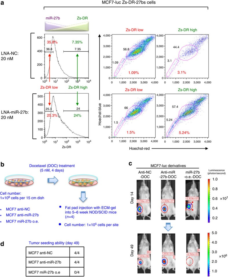 MiR-27b regulates the tumour seeding ability of breast cancer cells. ( a ) Flow cytometric analyses of MCF7-luc Zs-DR-27bs cells transfected with LNA-NC or LNA-miR-27b. ( b ) Overview of the method used to analyse the CSC properties of docetaxel-treated MCF7-luc cell derivatives. ( c ) Bioluminescent images of tumours in NOD/SCID mice injected with docetaxel (DOC)-treated MCF7-luc cell derivatives. Representative images are shown for each cohort. ( d ) The numbers of animals with detectable tumours in the groups injected with the MCF7-luc cell derivatives.