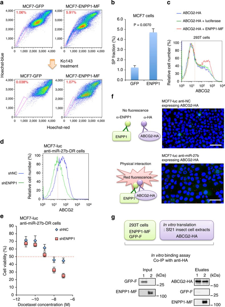 Functional analysis of ENPP1 in MCF7-luc cells. ( a ) Flow cytometric analysis of the SP fractions of MCF7-luc cells overexpressing ENPP1-MF or GFP as a control, in the presence and absence of Ko143. ( b ) Quantification of the SP fractions shown in a , determined as the difference between the level of Hoechst 33342 staining in the presence and absence of Ko143. Data are represented as the mean±s.d. of n =3 replicates. ( c ) Flow cytometric analysis showing the cell surface localization of ABCG2 in the indicated 293T co-transfectants. ( d ) Flow cytometric analyses of the cell surface localization of ABCG2 in MCF7-luc anti-miR-27b cells transfected with a control (shNC) or ENPP1-specific (shENPP1) shRNA. ( e ) Dose–response curves of docetaxel-treated MCF7-luc anti-miR-27b-DR cells transfected with shNC or shENPP1. Cell viability was normalized to that of the corresponding cells treated with dimethylsulphoxide (DMSO). The red dashed line indicates the IC 50 value. Data are represented as the mean±s.d. of n =3 replicates. ( f ) Proximity ligation assay using MCF7-luc anti-NC or MCF7-luc anti-miR-27b cells transiently expressing ABCG2-HA. Scale bar, 50 μm. ( g ) In vitro binding assay using C-terminally Flag-tagged GFP or C-terminally Myc- and Flag-tagged ENPP1 purified from 293T cells and C-terminally HA-tagged ABCG2 purified from Sf21 insect cell extracts.