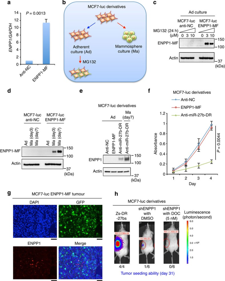 ENPP1 is a substrate of the 26S proteasome. ( a ) ENPP1 expression in MCF7-luc cells stably expressing ENPP1-MF or anti-NC as a control, detected by qRT–PCR. Expression levels were normalized to those of GAPDH and data are represented as the mean±s.d. of n =3 replicates. The P -values were calculated by Student's t -test. ( b ) A schematic illustration of the approach used in the experiments shown in c – e . ( c ) Immunoblot analyses of ENPP1 expression in MCF7-luc anti-NC and MCF7-luc ENPP1-MF cells treated with or without MG132 for 24 h. ( d ) Immunoblot analyses of ENPP1 in MCF7-luc ENPP1-MF cells grown under adherent (Ad) or mammosphere (Ma) culture conditions for the indicated times. ( e ) ENPP1 expression in the indicated MCF7-luc derivatives grown under adherent (Ad) or mammosphere (Ma) culture conditions. ( f ) Growth of the indicated MCF7-luc cell derivatives. An MTT assay was performed to determine the numbers of cells at each time point. Data are represented as the mean±s.d. of n =3 replicates. The P -values were calculated by Student's t -test. ( g ) Immunofluorescent detection of ENPP1-MF and GFP in MCF7-luc ENPP1-MF cells in paraffin-embedded sections of primary tumour xenografts. The nuclei were stained with 4,6-diamidino-2-phenylindole (DAPI). Scale bar, 50 μm. ( h ) Bioluminescent images of tumours in NOD/SCID mice injected with MCF7-luc shENPP1 cells that were treated with or without docetaxel (DOC). Alternatively, the mice were injected with MCF7-luc Zs-DR-27bs cells as a technical control. Representative images are shown for each cohort.