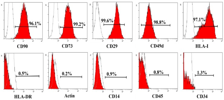 Phenotype of haMPCs. The haMPCs are positive for CD90, CD73, CD29, CD 49d and HLA-I, negative for CD45, CD14, CD34, HLA-DR and Actin.