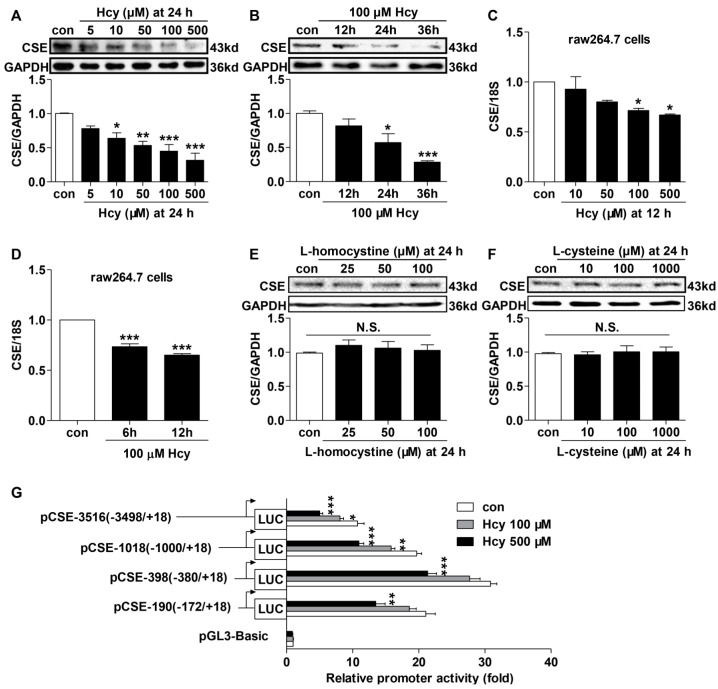 Effects of Hcy on CSE expression and promoter activity in raw264.7 macrophages. ( A – D ) Hcy down-regulated CSE mRNA and protein expressions in raw264.7 macrophages in dose- and time-dependent manners ( E , F ). Effect of l <t>-homocystine</t> and l -cysteine on CSE protein expression. CSE protein expression was evaluated by immunoblotting analysis while CSE mRNA level determined by quantitative PCR. GAPDH protein and 18S mRNA served as loading controls. Mean ± SEM, n = 3–8. ( G ) Reporter assay of a series of different fragments of cse promoter activity in raw264.7 cells that were treated with 100 or 500 µM Hcy for 12 h. Luciferase activities were expressed as fold increases over pGL3-basic vector. n = 7. * p