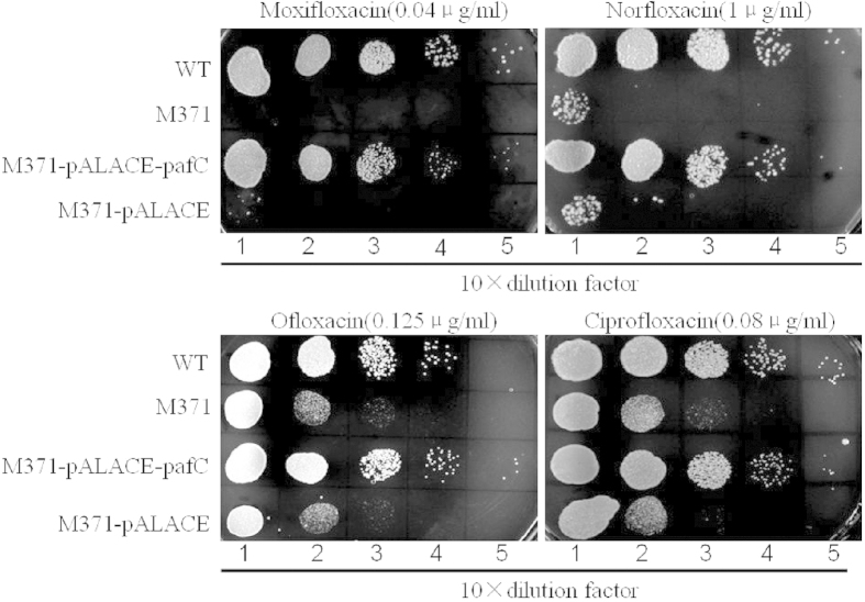 Growth of M. smegmatis mc 2 155 and M371 under fluoroquinolones exposure. Ten-fold serial dilutions of wild-type, M371, M371-pALACE- pafC and M371-pALACE were spotted on <t>Middlebrook</t> <t>7H10</t> containing indicated concentration of moxifloxacin, norfloxacin, ofloxacin and ciprofloxacin. Then the result was recorded when incubated at 37 °C for 3 days.