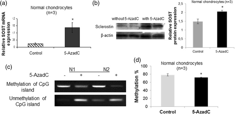 Effect of 5-AzadC treatment on SOST expression and DNA methylation status in the CpG-rich region of the SOST promoter. a Quantitative SOST mRNA expression in cultured normal chondrocytes (n = 3) after treatment with 5 μM 5-AzadC. GAPDH was used for normalization of the real-time PCR data ( error bars = standard error, * p = 0.041). b Representative western blot of SOST protein levels in cultured normal chondrocytes after treatment with 5 μM 5-AzadC and a bar graph showing relative SOST protein expression normalized to β-actin in 5-AzadC-treated normal chondrocytes (n = 3) ( error bars = standard error, * p = 0.009). c DNA methylation and unmethylation status of the SOST promoter in cultured normal chondrocytes after treatment with 5 μM 5-AzadC. d DNA methylation values in CpG-rich region of the SOST promoter in cultured normal chondrocytes (n = 3) after treatment with 5 μM 5-AzadC by quantitative methylation-specific PCR ( error bars = standard error, * p = 0.032)