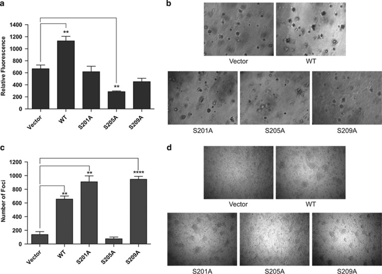 Effect of inhibiting PAX3-FOXO1 phosphorylation on anchorage-independent growth. ( a and b ) RH30 or ( c and d ) RH4 ARMS tumor cells were stably transduced with empty vector (vector), wild-type PAX3-FOXO1 (WT) or the indicated PAX3-FOXO1 phosphomutants. ( a ) RH30 cells were plated in soft agar, incubated for 1 week, and the extent of transformation was determined with a fluorescent assay, as described in the Materials and Methods. Results are presented as Relative Fluorescence, error bars represent the standard deviation from three independent determinations and P -values were computed using non-parametric two-way analyses of variance comparing each treatment condition to results seen with the empty vector-transduced negative control (** P =0.002). ( b ) Representative images of colony formation. ( c ) Cells were grown to confluency, after which they were allowed to grow an additional 5 days. Total number of colonies was counted, the results are presented as Number of Foci, error bars represent the standard deviation from four independent determinations, and P -values were computed using non-parametric two-way analyses of variance comparing each treatment condition to results seen with the empty vector transduced negative control (** P —0.0006, **** P