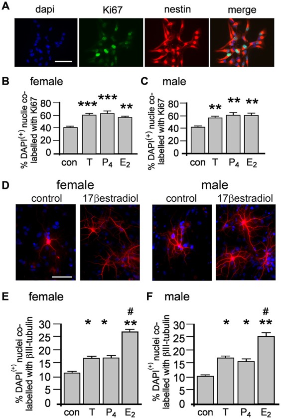 Female and male NSPCs were grown as neurospheres without sex hormones for 4 days then allowed to adhere to a laminin substrate and expose to either 10 nM testosterone (T), 17β-estradiol (E 2 ), progesterone (P 4 ) for 20 min before <t>Ki67/nestin</t> double label fluorescent immunocytochemistry was performed (A, female control neurosphere shown). The proportion of DAPI/nestin-labeled cells expressing Ki67 per neurosphere was increased by 20 min of either T, E 2 or P 4 compared to controls in both females (B) and males (C) . Female and male neurospheres maintained without sex hormones were differentiated on a laminin substrate for 72 h ± 10 nM T, E 2 or P 4 when βIII-tubulin (red) immunocytochemistry (D) showed that while T, P 4 and E 2 increased the proportion of neuronal differentiation compared to controls, E 2 was more potent compared to T and P 4 in females (E) and males (F) . Results show mean ± SEM, * p