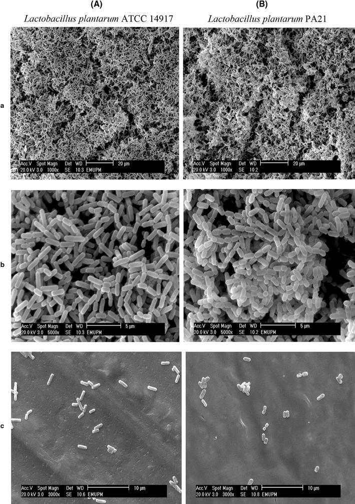Comparative analysis of Lactobacillus plantarum PA21 in biofilm and planktonic culture. SEM analysis of a biofilm covered-surfaces, b biofilm cells, and c planktonic cells of A Lactobacillus plantarum ATCC 14917, B Lactobacillus plantarum PA21 in MRS broth after 24 h at 35°. Lactobacillus plantarum ATCC 14917 was used as positive control.