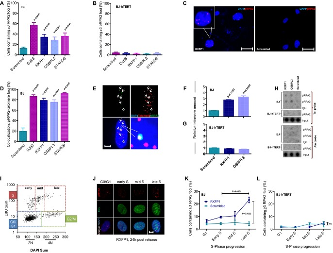 Telomerase rescues aneuploidy-induced replication stress Early passages of BJ and BJ-hTERT fibroblasts were infected with aneuploidy-inducing shRNAs targeting the indicated genes or with a scrambled shRNA. A–C Analysis of phosphorylated RPA2 (pRPA2) foci by immunofluorescence staining: quantification of nuclear pRPA2 foci in (A) BJ and (B) BJ-hTERT fibroblasts; (C) representative images of pRPA2 foci (scale bar: 50 μm). Note that telomerase expression completely suppresses the induction of pRPA2 foci in BJ fibroblasts infected with aneuploidy-inducing shRNAs (B). D Co-staining of pRPA2 foci and telomeric DNA by FISH was used to quantify the number of pRPA2 foci co-localizing to telomeres in cells infected with aneuploidy-inducing shRNAs compared to scrambled shRNA-infected cells. E Representative image of immuno-FISH shows co-localization of pRPA2 foci and telomeric DNA. Here, 5 of 6 pRPA2 foci (dashed arrows) co-localize with telomeres (scale bar: 10 μm). F–H Chromatin immunoprecipitation (ChIP) was carried out using a pRPA2 antibody on lysates of cells infected with aneuploidy-inducing shRNAs or scrambled shRNA control. qPCR-based quantification of telomeric DNA in the immunoprecipitate of (F) BJ and (G) BJ-hTERT cells. (H) Quantification of telomeric DNA (telomere probe) and non-telomeric DNA (Alu probe) in the immunoprecipitate by dot blot and radioactive labeling. IgG-ChIP was used as a negative control. Note that aneuploidy-inducing shRNAs induced pRPA2 binding at telomeric DNA, which was rescued by telomerase expression. There was no detectable increase in pRPA2 foci at chromosomal localizations outside telomeres. I–L Quantification of cell cycle-dependent accumulation of pRPA2 foci formation in BJ cell infected with an aneuploidy-inducing shRNA against RXFP1 or with a scrambled shRNA control. Serum-starved, G1-arrested cells were re-stimulated and labeled at different time points with EdU. (I) Representative 2D cell cycle profile (EdU versus DAPI) at 24 h po