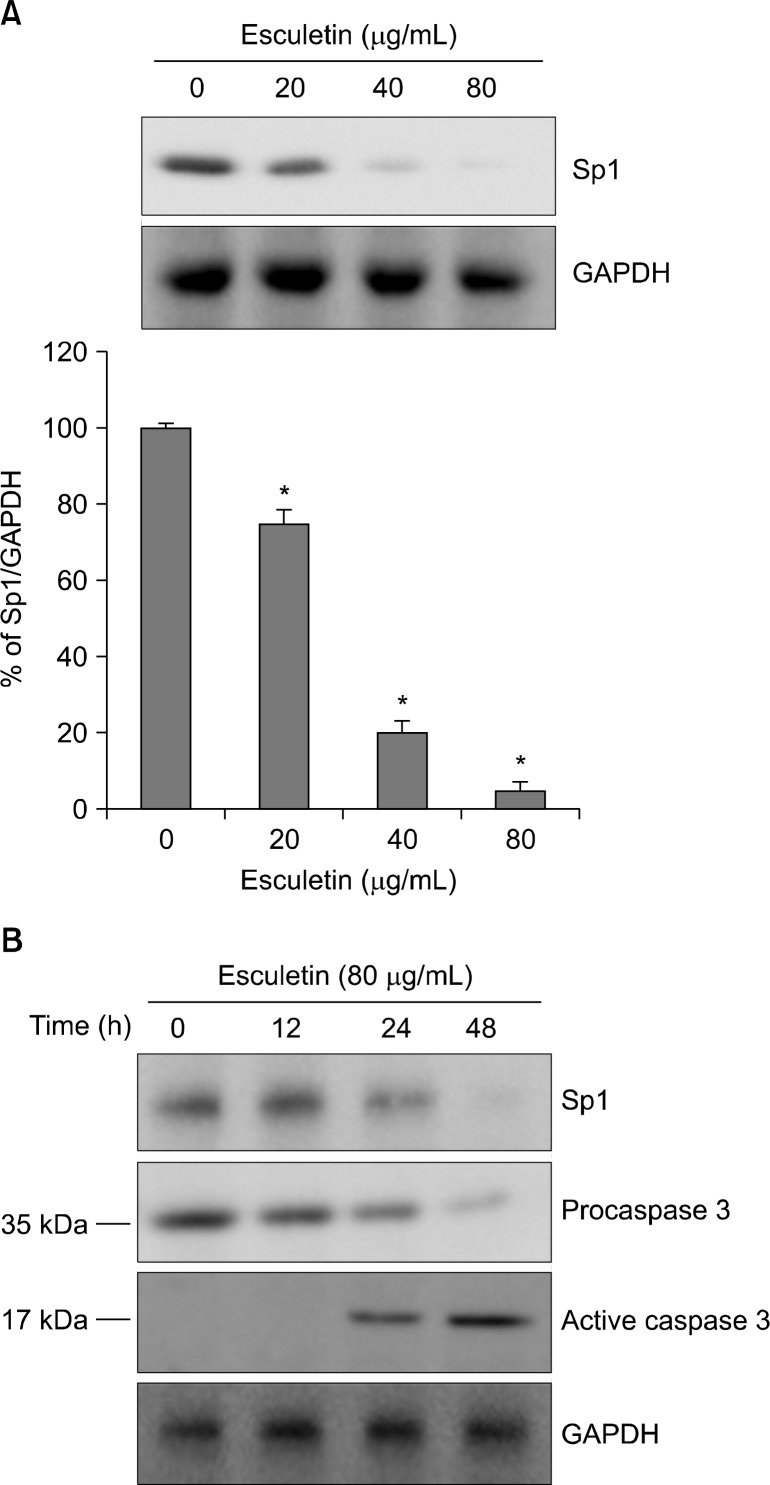 The effect of esculetin on Sp1 expression in human malignant melanoma. (A) The G361 cells were treated with different concentrations of esculetin (0, 20, 40, and 80 μg/mL) for 48 hours. The cell lysates were separated by SDS PAGE, and then the membranes were transferred from SDS PAGE gels subjected to Western blot analysis for Sp1. An equal loading protein was confirmed using glyceraldehyde-3-phosphate dehydrogenase (GAPDH). The histogram showed the ratio of Sp1 to GAPDH expression, and the results were expressed as the average of a triplicate sample from three independent experiments. The asterisk suggested P