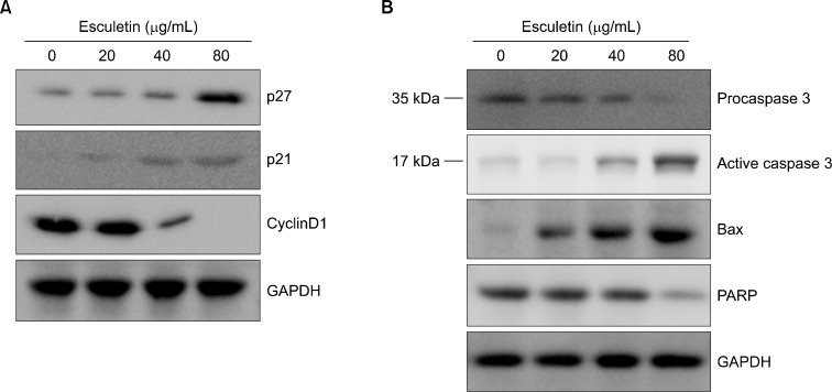 The effect of esculetin on the expression of cell cycle arrest- and apoptosis-related proteins in human malignant melanoma. (A) The G361 cells were incubated with esculetin (20, 40, and 80 μg/mL) or without for 48 hours. The cell lysates were determined using Western blot analysis with antibodies against p27, p21, and cyclin D1. Equal loading protein was confirmed using <t>glyceraldehyde-3-phosphate</t> de-hydrogenase <t>(GAPDH).</t> (B) The G361 cells were treated with esculetin (0, 20, 40, and 80 μg/mL) for 48 hours. The cell lysates were then determined via Western blot analysis with antibodies against procaspase 3, active caspase 3, Bax, and PARP. Equal loading protein was confirmed using GAPDH. The values were measured using Image J densitometry, and the data were expressed as a representative of two or three independent experiments.