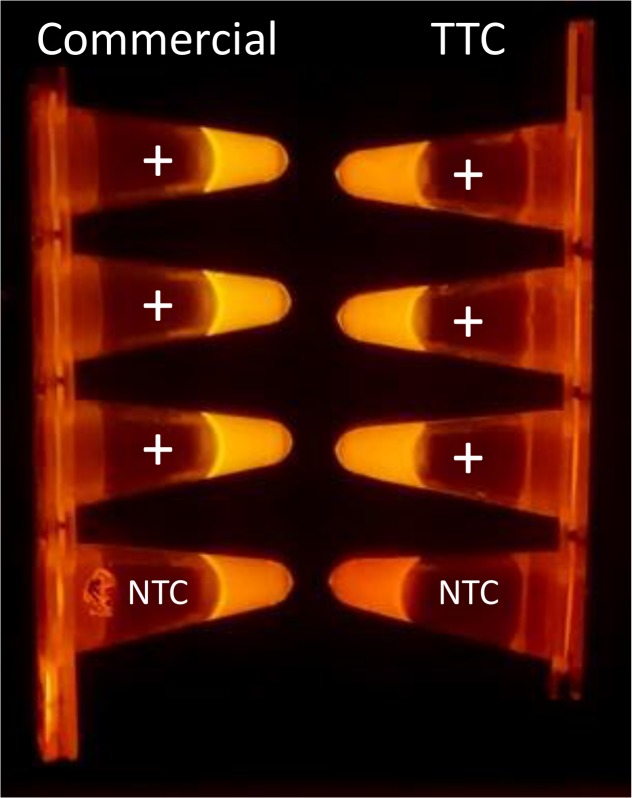 Photos of the <t>PCR</t> tubes illuminated with blue LED. Fluorescent photos of SYBR-Green based PCR reagents tubes after amplification steps in a commercial cycler and the TTC. The intensity of NTC tube is much lower than the tubes containing template <t>DNA.</t>