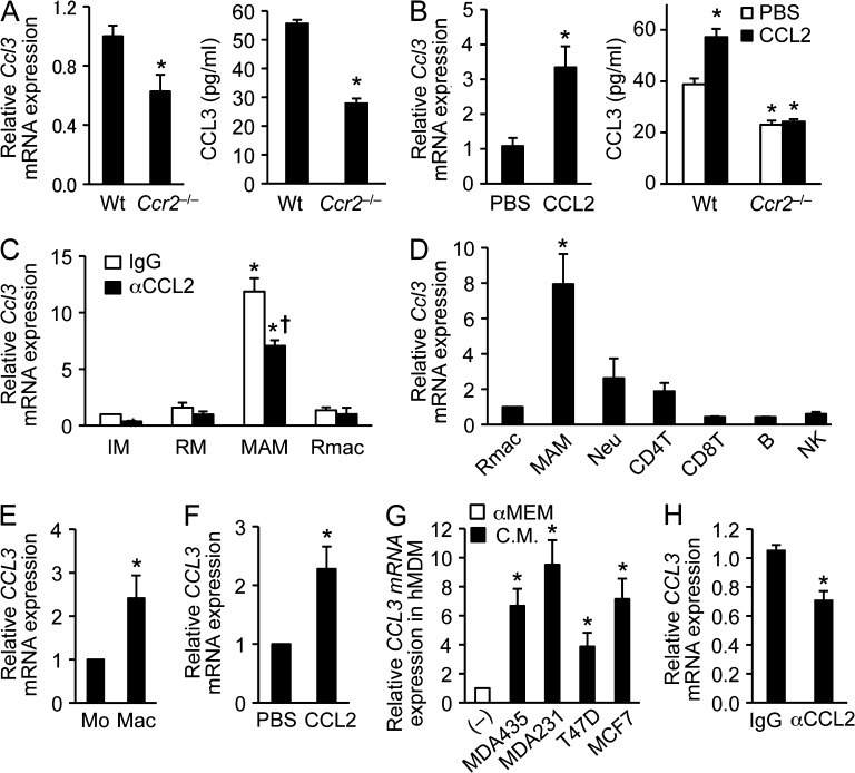 CCR2 signaling regulates CCL3 expression in MAMs. (A) Levels of Ccl3 mRNA (left) and CCL3 protein (right) in BMDMs isolated from WT or Ccr2 −/− mice were assessed by RT-PCR ( n = 6 per genotype, 6 independent experiments) and ELISA ( n = 3 per genotype, two independent experiments). Data are means ± SEM. *, P