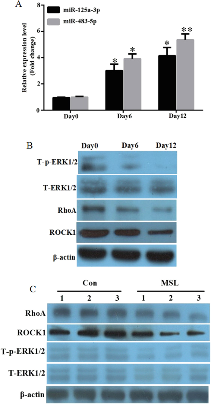 The expression of miR-125a-3p and miR-483-5p are increased with the induction of hADSCs. ( A ) The hADSCs were induced to mature adipocytes for 12 days. The miR-125a-3p and miR-483-5p expression levels were detected by quantitative real-time PCR at days 0, 6, and 12. ( B ) The hADSCs were induced to mature adipocytes for 12 days. Total protein was extracted for immunoblotting of RhoA, ROCK1, total ERK1/2 (T-EKR1/2), and phosphorylated ERK1/2 (T-p-EKR1/2) by western blot. ( C ) The expression of RhoA, ROCK1, T-EKR1/2, and T-p-EKR1/2 in the adipose tissues of MSL patients (n = 3) and controls (n = 3) were determined by western blot. *p