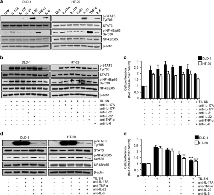 IL-17A, IL-22, TNF-α and IL-6 contribute to TIL-derived supernatant (TIL SN)-mediated STAT3/NF-kB activation and mitogenic effect in CRC cells. ( a ) Representative western blotting showing p-STAT3 Tyr705, STAT3, p-NF-kB/p65 Ser536 and NF-kB/p65 expression in DLD-1 and HT-29 cells stimulated or not with IL-17A, IL-17F, IL-21, IL-22, TNF-α- and IL-6 (all used at 25 ng/ml) for 15 min. β-Actin was used as a loading control. One of three representative experiments in which similar results were obtained is shown. ( b ) Representative western blotting showing p-STAT3 Tyr705, STAT3, p-p65 Ser536 and NF-kB/p65 expression in DLD-1 and HT-29 cells stimulated or not with TIL SNs in the presence or absence of anti-IL-17A, anti-IL-17F, anti-IL-21, anti-IL-22, anti-TNF-α and anti-IL-6 (all used at 10 μg/ml) as indicated. β-Actin was used as a loading control. One of three representative experiments in which similar results were obtained is shown. ( c ) Representative histograms showing cell proliferation of DLD-1 and HT-29 cells stimulated as indicated in ( b ). Data indicate mean±s.e.m. of four experiments. Differences between groups were compared using one-way analysis of variance (ANOVA) followed by Bonferroni's post hoc test. ( d ) Representative western blotting showing p-STAT3 Tyr705, STAT3, p-NF-kB/p65 Ser536 and NF-kB/p65 expression in DLD-1 and HT-29 cells stimulated or not with TIL SNs in the presence or absence of anti-IL-17A, anti-IL-22, anti-TNF-α and anti-IL-6, used in combination as indicated. β-Actin was used as a loading control. One of three representative experiments in which similar results were obtained is shown. ( e ) Representative histograms showing cell proliferation of DLD-1 and HT-29 cells stimulated as indicated in ( d ). Data indicate mean±s.e.m. of five experiments. Differences between groups were compared using one-way analysis of variance (ANOVA) followed by Bonferroni's post hoc test. DLD-1: TIL SN+anti-IL-22+anti-IL-6- vs TIL SN-treated cells, * 