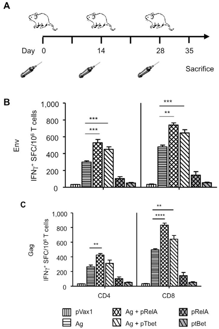 Transcription factor adjuvants enhance antigen specific DNA vaccine induced T cell immunity. ( A ) Balb/C mice ( n= 4 /group) were vaccinated three times at two week intervals with HIV-1 pGag or pEnv alone, pGag or pEnv with co delivery of either pRelA or pTbet. Other control groups were pRelA or pTbet alone, or a pVax1 control. T cell responses (CD8 + and CD4 + ) were analyzed by IFN-γ ELISPOT one week following the third immunization and results for IFN-γ+ spot forming cells (SFC) per 10 6 MACS-purified T cells are indicated following re-stimulation with subtype B HIV-1 Env ( B ) or Gag ( C ) peptide pools. Samples were performed in triplicate, error bars represent SEM, and statistically significant values are shown; ** p