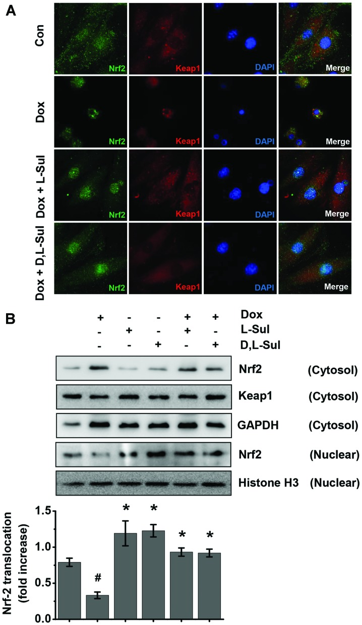 Activation of the Kelch-like ECH-associated protein 1 (Keap1)/NF-E2-related factor-2 (Nrf2) pathway by L-sulforaphane (L-Sul) and D,L-sulforaphane (D,L-Sul) in H9c2 cells. (A) H9c2 cells were treated with 1 µ M doxorubicin (Dox) or pre-treated with 10 µ M L-Sul or D,L-Sul for 2 h, and then treated with 1 µ M Dox for 24 h. Cells were double immunostained for Nrf2 and Keap1 and nuclei were visualized by DAPI staining. (B) H9c2 cells were treated with 1 µ M Dox or pre-treated with 10 µ M L-Sul or D,L-Sul for 2 h, and then treated with 1 µ M Dox for 24 h. In parallel, cells were also treated with 10 µ M L-Sul or D,L-Sul alone for 24 h. Nuclear and cytosolic fractions of H9c2 cells were obtained and subjected to western blot analysis using Nrf2 and Keap1 antibodies (top panel). Glyceraldehyde 3-phosphate dehydrogenase (GAPDH) was used as a cytosolic marker, while histone H3 was used to identify nuclear fractions. Densitometric analysis is shown on the lower panel. # P