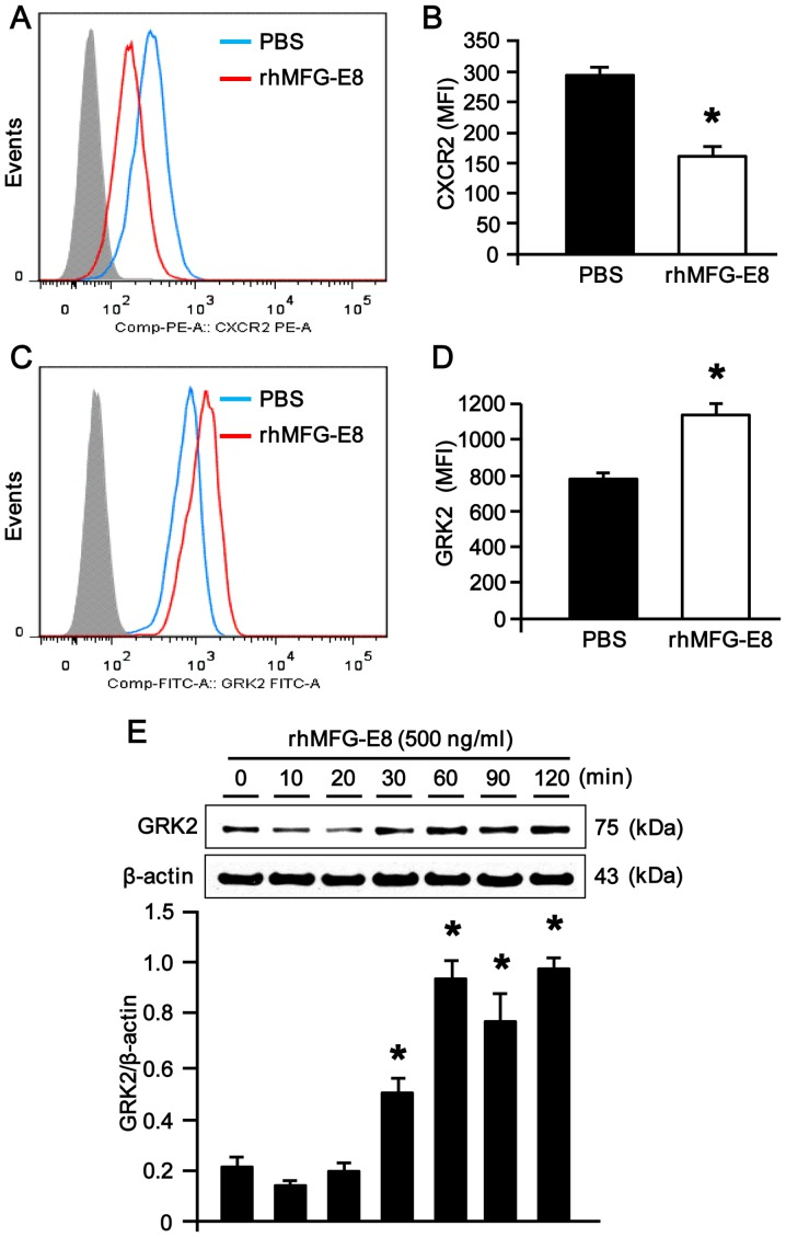 Expression of CXCR2 and G protein-coupled receptor kinase 2 (GRK2) in recombinant human milk fat globule-epidermal growth factor-factor 8 (rhMFG-E8)-treated neutrophils. (A) Differentiated HL-60 (dHL-60) cells (1.5×10 6 cells) treated with rhMFG-E8 (500 ng/ml) for 2 h were surface-stained with PE-CXCR2 and then subjected to flow cytometric analysis. Data were analyzed by Flowjo software with 15,000 events per sample. Isotype controls and Fc receptor blocker were used for all the samples. The representative histograms for PBS and rhMFG-E8-treated dHL-60 cells obtained from 3 independent experiments are shown. (B) Bar diagram representing the mean fluorescence intensities (MFI) of the PBS- and rhMFG-E8-treated samples are shown. Data are expressed as the means ± SE (n=3 samples/group), obtained from 3 independent experiments. * P
