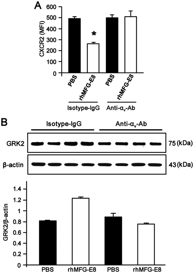Recombinant human milk fat globule-epidermal growth factor-factor 8 (rhMFG-E8) regulates CXCR2 and G protein-coupled receptor kinase 2 (GRK2) expression through α v β 3 -integrin. (A) Differentiated HL-60 (dHL-60) cells (1.5×10 6 ) were placed into 1.5 ml microfuge tubes containing 1 ml of Opti-MEM. The cells were pre-treated with 1 µ g/ml of each of the IgG isotype control or anti-α v -integrin neutralizing antibody for 1 h at 37°C. The cells were then stimulated with rhMFG-E8 (500 ng/ml) or PBS for 2 h and then subjected to flow cytometry using PE-labeled anti-CXCR2 antibody. The mean fluorescence intensities (MFI) of the isotype- and anti-α v -integrin-treated samples are shown. Data are expressed as the means ± SE (n=3 samples/group), obtained from 3 independent experiments. * P