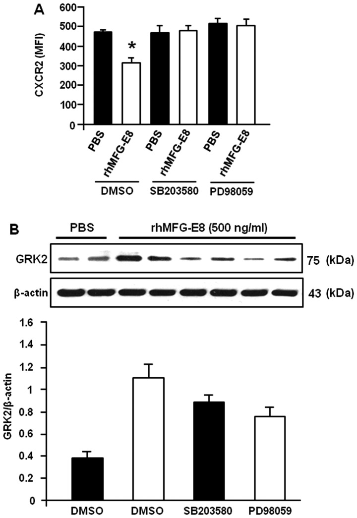 Recombinant human milk fat globule-epidermal growth factor-factor 8 (rhMFG-E8) regulates <t>CXCR2</t> and G protein-coupled receptor kinase 2 (GRK2) expression through the p38 and ERK pathways. (A) Differentiated HL-60 (dHL-60) cells were placed into 1.5 ml microfuge tubes at a density of 1.5×10 6 cells/ml of Opti-MEM. The cells were then pre-treated with the p38 inhibitor, SB203580, of the ERK inhibitor, PD98059, at a concentration of 10 µ M of each for 1 h at 37°C. Following incubation, the cells were then stimulated with rhMFG-E8 (500 ng/ml) or PBS for 2 h followed by the assessment of CXCR2 by flow cytometry. Mean fluorescence intensities (MFI) obtained from 3 independent experiments are plotted into the bar diagram. * P