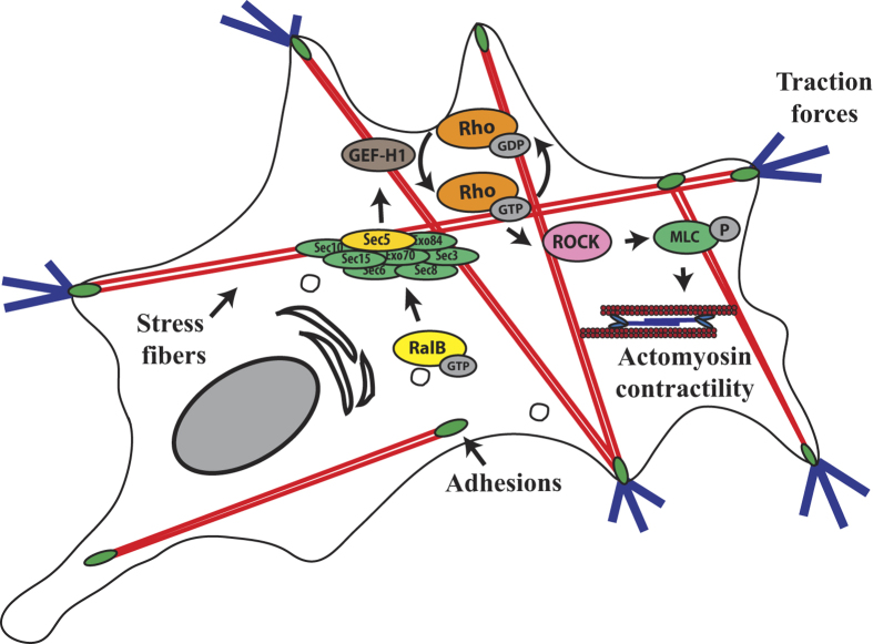 Model outlining the role of RalB/Exocyst pathway in the dissemination of TGFβ-treated A549 cells. TGFβ-treated cells generate traction forces which are required to remodel the extracellular matrix and to disseminate in 2/3D environment. This requires the activation of the Rho/ROCK pathway and actomyosin function. The Ral pathway controls the dissemination of TGFβ-treated cells by modulating RhoA-dependent actomyosin contractility via the interaction between the Sec5 subunit of Exocyst and the RhoGEF GEF-H1.