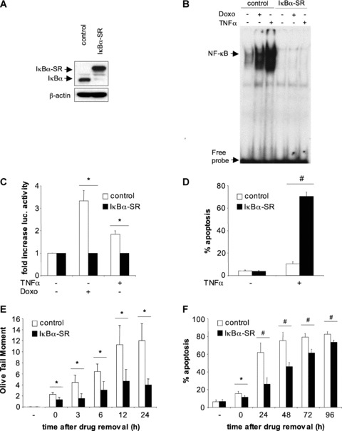 Doxorubicin-induced NF-κB activation enhances DNA damage and apoptosis in A172 glioblastoma cells. (A), Ectopic expression of <t>IκBα-SR.</t> A172 glioblastoma cells were stably transduced with a control vector or a vector containing IκBα-SR. Protein expression of wild-type IκBα and mutant IκBα-SR was determined by Western blot analysis. β-actin served as loading control. (B), Inhibition of NF-κB DNA binding by IκBα-SR. NF-κB DNA binding was assessed by EMSA in nuclear extracts of A172 cells transduced with control vector or a vector containing IκBα-SR that were left untreated or were treated with 0.8 μg/ml Doxorubicin for 6 hrs or 10 ng/ml TNFα for 1 hr. (C), Inhibition of NF-κB transcriptional activity by IκBα-SR. A172 cells stably transduced with control vector (white bars) or a vector containing IκBα-SR (black bars) were transiently transfected with firefly and renilla luciferase gene constructs, treated for 6 hrs with 10 ng/ml TNFα or for 24 hrs with 0.8 μg/ml Doxorubicin and analysed by dual luciferase assay for induction of NF-κB transcriptional activity. Fold increase in luciferase activity relative to unstimulated control is shown. (D), Enhancement of TNFα-induced apoptosis by NF-κB inhibition. A172 cells transduced with control vector (white bars) or a vector containing IκBα-SR (black bars) were left untreated (–TNFα) or were treated with 50 ng/ml TNFα for 48 hrs (+TNFα). Apoptosis was determined by FACS analysis of DNA-fragmentation of propidium iodide stained nuclei. (E), NF-κB promotes Doxorubicin-induced DNA damage. A172 cells stably transduced with control vector (white bars) or a vector containing IκBα-SR (black bars) were treated with 0.8 μg/ml Doxorubicin for 18 hrs, followed by a complete exchange of medium. After the indicated time-points, DNA damage was assayed by Comet assay and is displayed as Olive Tail Moment. (F), NF-κB promotes Doxorubicin-induced apoptosis. A172 cells stably transduced with control vector (white bars) or a vector containing IκBα-SR (black bars) were treated with 0.8 μg/ml Doxorubicin for 18 hrs, followed by a complete exchange of medium. After the indicated time-points, apoptosis was determined by FACS analysis of DNA-fragmentation of propidium-iodide stained nuclei. Median (E) or mean (C, D and F) + S.D. of three independent experiments are shown; * P