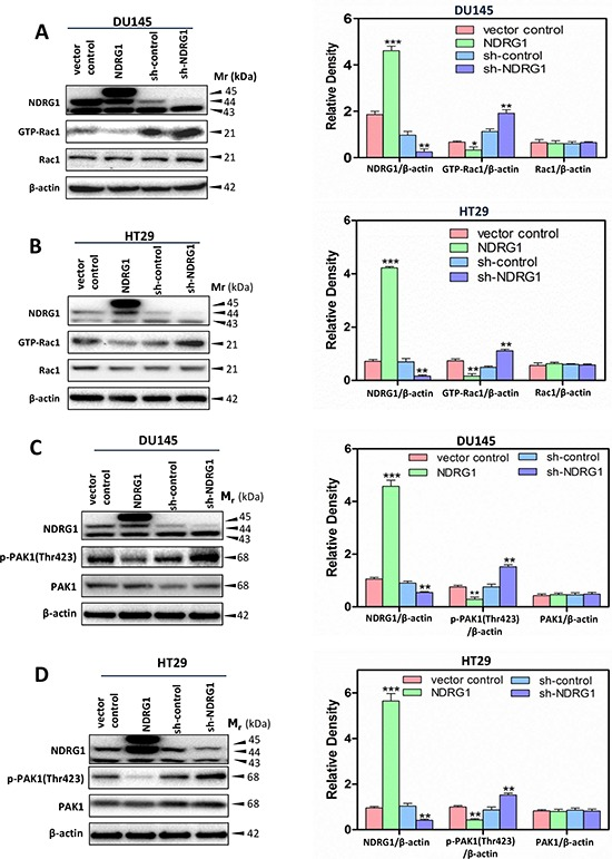 NDRG1 suppressed Rac1 activity and its downstream effector <t>PAK1</t> (A, B) A Rac1 activation assay was performed (see Materials and Methods ) to detect the active form of Rac1 (GTP-Rac1) in (A) DU145 and (B) HT29 cells. These studies demonstrated that NDRG1 expression inhibited Rac1 activity. (C, D) Immunoblotting showed that NDRG1 suppressed PAK1 phosphorylation (Thr423) in (C) DU145 and (D) HT29 cells. Immunoblotting results are representative of three independent experiments. Densitometry data are mean ± S.D. (3–5 experiments); * p