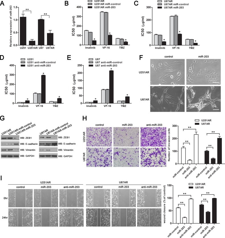 Re-expression of miR-203 in U251AR and U87AR cells sensitizes cells to anticancer drugs and reverses EMT while knockdown of miR-203 promotes resistance to anticancer drugs in U251 and U87 cells (A) qRT-PCR data validation of the downregulation of miR-203 in imatinib-resistant GBM cells compared with their parental cells, normalized to U6RNA, which was obtained from miRNA microarrays. (B, C) The sensitivities of U251AR and U87AR cells to imatinib, VP-16 and TMZ after transfected with miR-203 or miRNAs control. (D, E) Transfection with anti-miR-203 promotes resistance to imatinib, VP-16 and TMZ in U251 and U87 cells. (F) Morphology of U251AR and U87AR cells transfected with miRNA control or miR-203. Scale bar, 100 μm. (G) Western blotting show that re-expression of miR-203 modulates the expression of EMT markers. (H, I) U251AR and U87AR cells were transfected with miR-203 or anti-miR-203, and then collected for transwell invasion assay or wound healing assay. Shown were pictures of representative fields for each experiment. Scale bar, 200 μm. Data were expressed as mean±s.d. from three independent experiments. VP-16, etoposide; TMZ, temozolomide. * P