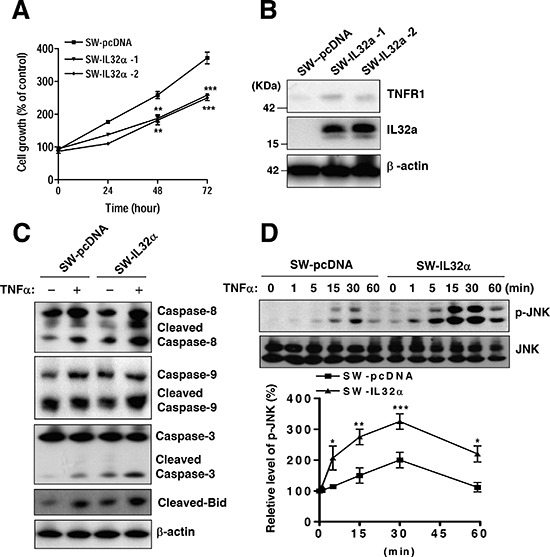 Effects of stable expression of IL-32α in SW620 cells on colon cancer cell growth and apoptotic signaling (A) SW620 cells were stably transfected with either the empty pcDNA3.1 vector (SW-pcDNA cells) or the IL-32α expression vector (SW-IL-32α cells), respectively. Cell growth rate was measured by MTT assay during 72 hr (B) Expression of IL-32α and TNFR1 is shown by Western blot analysis. β-actin protein was used as an loading control. (C) Cells were treated with 30 ng/ml TNFα for 24 hr. Cell extracts were analyzed by Western blotting using specific antibodies. (D) The cells were treated with TNFα (30 ng/ml) for the indicated times and assayed to detect phospho-JNK and JNK. The data are represented as relative percentages of the control. *Significant difference from SW-pcDNA cells (* p